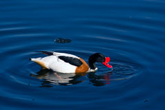 Male shelduck. (Tadorna sp.) in spawning dress swimming in the pond Stock Photography
