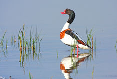 Male shelduck Stock Images