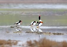 A male shelduck in breeding plumage. Sits on a ground and water Royalty Free Stock Photography