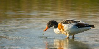 Male Shelduck feeding in shallow waters. A male Common Shelduck, Tadorna tadorna, filtering the water is search of microorganisms in a shallow lagoon in Italy Stock Image