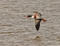 Male Shelduck in flight Royalty Free Stock Image