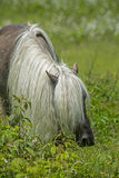 Male Shetland Pony with long beautiful mane. Royalty Free Stock Photo