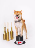 Male shib-inu dog with butterfly tie on hat cylinder. Male shib-inu dog with butterfly tie and cylinder Royalty Free Stock Photo