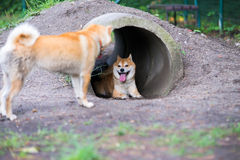 Male shiba inu dog in pipe with female. Happy dog Stock Photography
