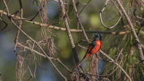 Male Short-billed Minivet on Pine Tree. Male short-billed Minivet, Pericrocotus brevirostris is perching and looking around on pine tree branch at Doi Inthanon Royalty Free Stock Image