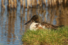 A Male Shoveler Anas clypeata sitting in the grass on the bank of a river. A beautiful male Shoveler Anas clypeata sitting in the grass on the bank of a river Royalty Free Stock Photos