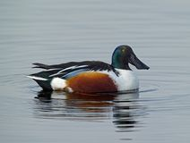 Shoveler Duck Anas clypeata. A male Shoveler Duck floating on water Royalty Free Stock Images