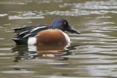 A male shoveler duck Royalty Free Stock Images