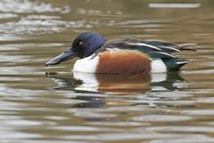 A male shoveler duck Stock Images