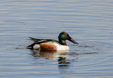 Male Shoveler Duck. A male shoveler duck taken on Loch Kinnordy, Scotland Royalty Free Stock Image