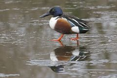 A male shoveler duck walking on the ice. A male shoveler duck walking the ice on the Cemetery Lake  Southampton Common, Hampshire, UK Royalty Free Stock Photo
