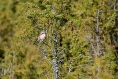 Male shrike. Male Red-Backed Shrike on a juniper branch Royalty Free Stock Photo