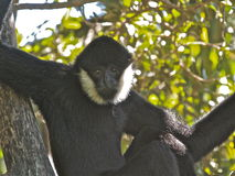 Male siamang monkey. A male siamang monkey staring at the camera while hanging from a tree at Adelaide Zoo, Adelaide, Australia Stock Photos