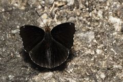 Male of Siamese Black Prince butterfly & x28; Rohana parisatis & x29; suck Stock Images