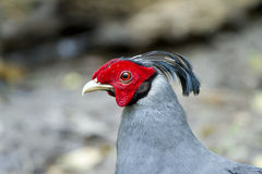 Male Siamese Fireback. In the forest Stock Photo