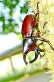 Male Siamese rhinoceros beetle. Xylotrupes gideon Royalty Free Stock Image