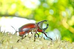Male Siamese rhinoceros beetle. Xylotrupes gideon Stock Photo