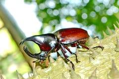 Male Siamese rhinoceros beetle. Xylotrupes gideon Royalty Free Stock Photo