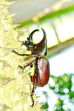 Male Siamese rhinoceros beetle Stock Photos