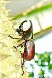Male Siamese rhinoceros beetle Stock Photos