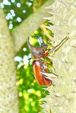 Male Siamese rhinoceros beetle Royalty Free Stock Photos