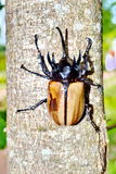Male Siamese rhinoceros beetle Royalty Free Stock Photo