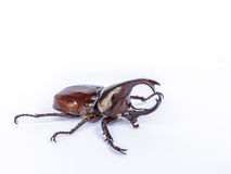 Male Siamese rhinoceros beetle, Xylotrupes gideon isolated on wh Royalty Free Stock Photo