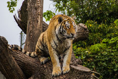 Tiger In a Tree Stock Photography