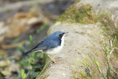 Male Siberian Blue Robin. Female Siberian Blue Robin on a log Stock Photos