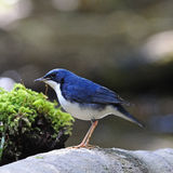 Male Siberian Blue Robin. Little blue bird, male Siberian Blue Robin (Luscinia cyane), standing on the log Stock Photos