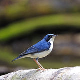 Male Siberian Blue Robin Stock Photo