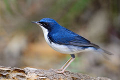 Male Siberian Blue Robin. Little blue bird, male Siberian Blue Robin (Luscinia cyane), standing on the log, side profile Stock Photography