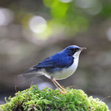 Male Siberian Blue Robin. Little blue bird, male Siberian Blue Robin (Luscinia cyane), standing on the moss ground cover Stock Photos