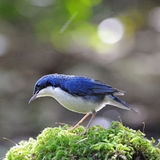 Male Siberian Blue Robin. Little blue bird, male Siberian Blue Robin (Luscinia cyane), standing on the moss ground cover Royalty Free Stock Images