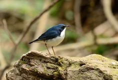 Male Siberian Blue Robin Luscinia cyane. Beautiful male Siberian Blue Robin Luscinia cyane in Thailand Royalty Free Stock Image