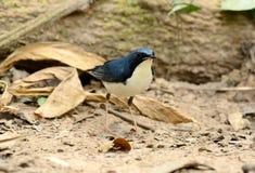 Male Siberian Blue Robin Luscinia cyane. Beautiful male Siberian Blue Robin Luscinia cyane in Thailand Stock Photo