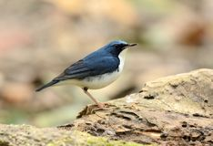 Male Siberian Blue Robin Luscinia cyane. Beautiful male Siberian Blue Robin Luscinia cyane in Thailand Stock Photos