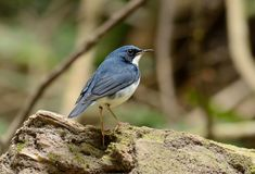Male Siberian Blue Robin Luscinia cyane. Beautiful male Siberian Blue Robin Luscinia cyane in Thailand Stock Images