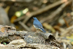 Male Siberian Blue Robin (Luscinia cyane). Beautiful male Siberian Blue Robin (Luscinia cyane) in Thailand Stock Image
