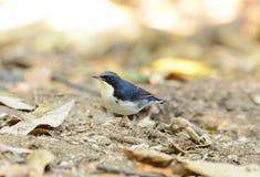 Male Siberian Blue Robin (Luscinia cyane) Stock Photos