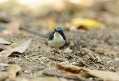 Male Siberian Blue Robin (Luscinia cyane) Royalty Free Stock Image