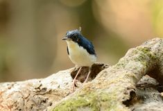 Male Siberian Blue Robin (Luscinia cyane) Royalty Free Stock Images