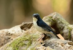 Male Siberian Blue Robin (Luscinia cyane). Beautiful male Siberian Blue Robin (Luscinia cyane) in Thailand Stock Photo