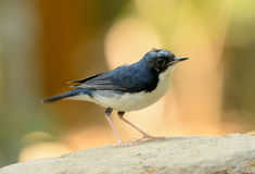 Male Siberian Blue Robin (Luscinia cyane). Beautiful male Siberian Blue Robin (Luscinia cyane) in Thailand Stock Photos