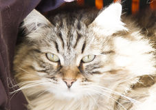 Male of siberian cat, brown version, foreground Royalty Free Stock Image