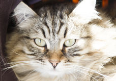 Male of siberian cat, brown version, foreground. Foreground of siberian cat, brown tabby Royalty Free Stock Image
