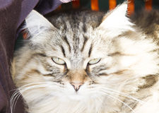 Male of siberian cat, brown version, foreground Stock Photos