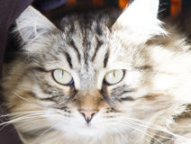Male of siberian cat, brown version, foreground. Foreground of siberian cat, brown tabby Royalty Free Stock Photo