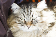 Male of siberian cat, brown version, foreground Stock Photo