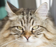 Male siberian cat outdoor Royalty Free Stock Photography